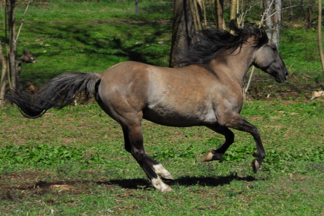 Golden Topaz Mustang
